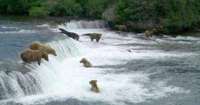 Săptămâna Ursului Gras – Fat Bear Week