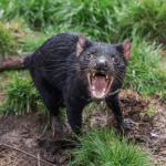 Diavolii au fost eliberați în Australia