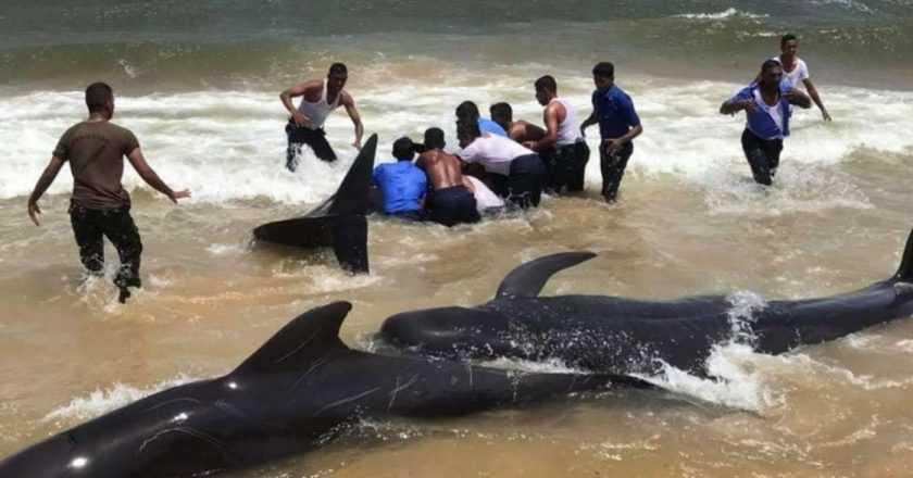 Sri Lanka – Peste 100 de balene eșuate