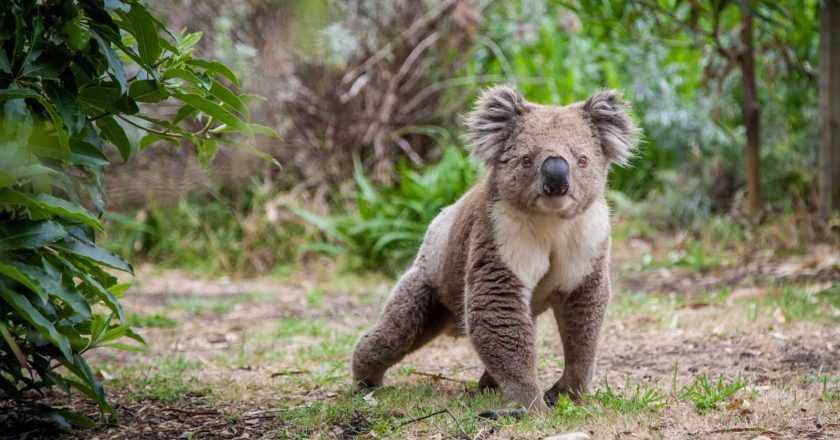Koala și bradul de Crăciun