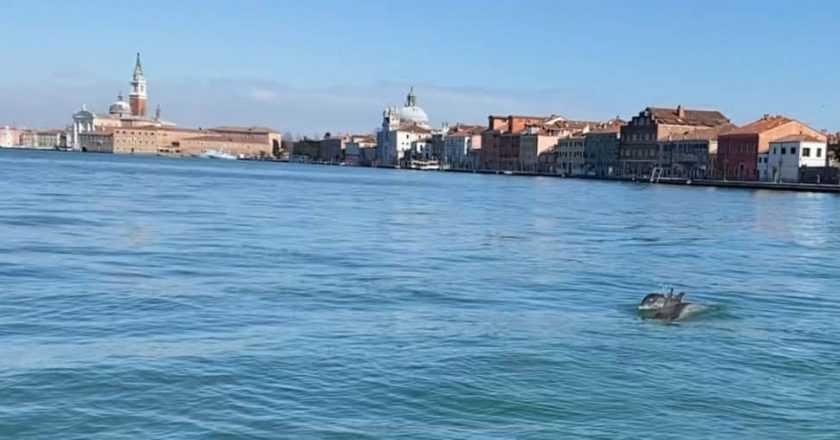 Doi delfini în Veneția, de data aceasta o imagine reală